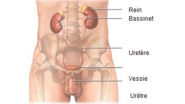Schéma appareil urinaire
