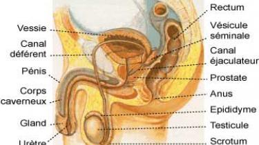 Schéma de la prostate